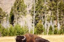 Yellowstone Fine Art // Wildlife