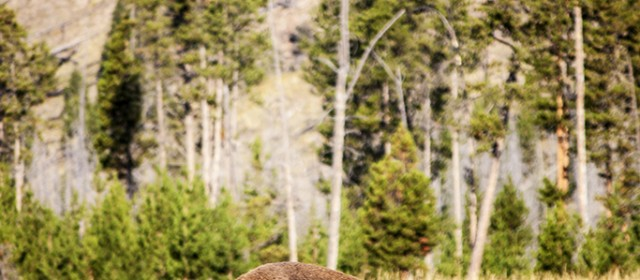 Yellowstone Fine Art // Wildlife